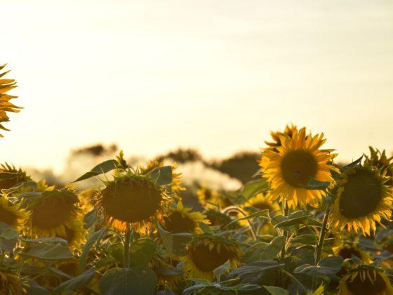 sonnenblumen Feld bei sonnenuntergang